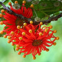 Mudas De Roda De Fogo - 2m - Mudas De Flores
