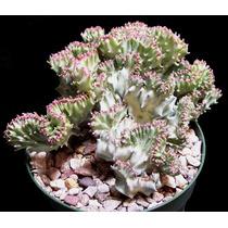 100 Sementes Cacto Euphorbia Tuberculata - Frete Gratis