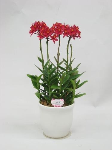 Orquideas Epidendrum Vermelhas Mudas Raras Promoção ! Raras