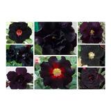 Rosa Do Deserto Kit Negras (18 Sementes - 6 Tons) Adenium