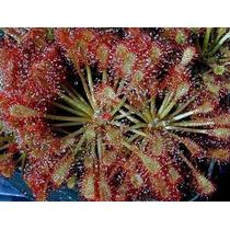 Plantas Carnívoras - Drosera Capillaris - Sementes