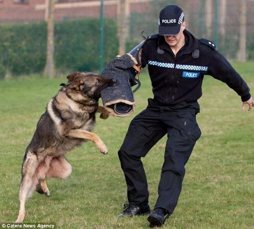 Adestramento De Cães Em 3 Dvds Para Todos Os Cachorro Tgb