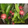 Pitayas Mudas Enraizadas Vermelha E Branca