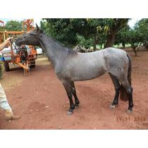 Cavalo Crioulo (potra)