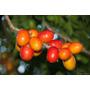 Mudas De Seriguela Produzindo De Alporquia. *bonsai Junior*