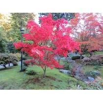 Arvore Japonesa Acer Palmatum ( 2,00 M A 2,5 M )