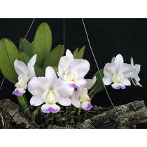 Orquidea Cattleya Semi-alba Kenny Adulta