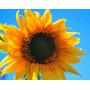 100 Sementes De Girassol Amarelo +super Brinde