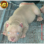 Filhote Pit Bull - Pit Monster - Pedigree - Orelha Cortada
