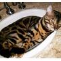 Gato Bengal - Filhotes Mini Tigre Onça Com Pedigree Tatuapé