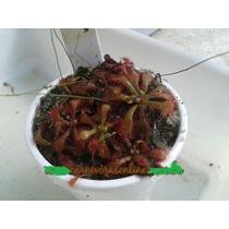 Plantas Carnívoras - Drosera Venusta   Muda