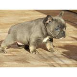 Bulldog Frances Femea Blue And Tan/canil Minion Bull...