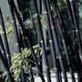 Bambu Negro - Phyllostachys Nigra - Sementes Para Mudas