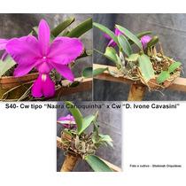 Orquídeas Cattleya Walkeriana Tipo - Vaso Inteiro
