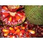 1kg Pinhão Fruto Semente Pinheiro Araucária Receitas Do Sul