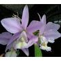 Cattleya Nobilior Coerulensis - Adulta Enraizado Inteira