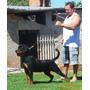 Fêmea Rottweiler Extremamente Promissora, Aos 08 Meses!!!