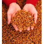 1100 Larvas Tenébrios Molitor Alimento Vivo + Cálcio