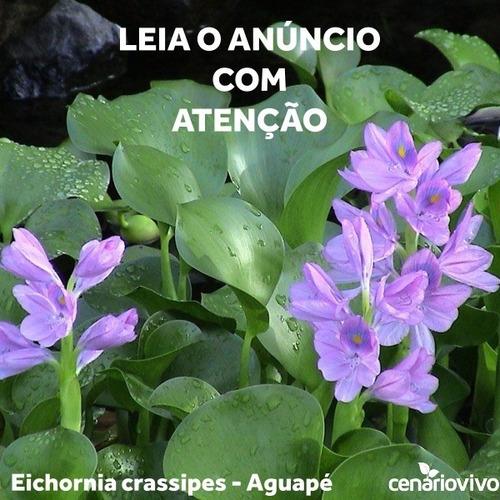 Plantas Aquáticas Flutuantes - Aguapé (10 Mudas) Promoção