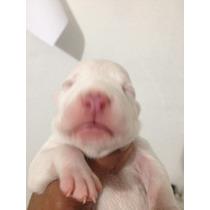 Filhote De Pitbull Fêmea Red Nose Branca Inteira .