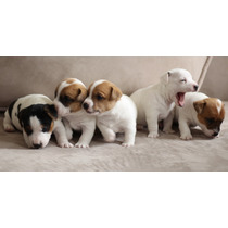 Jack Russel Terrier - Filhotes Com Pedigree Cbkc