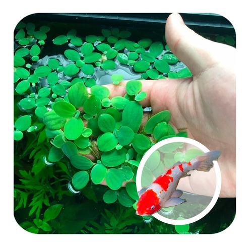 Kit 6 Planta Flutuante Lagos Alface Daqua Aquaponia