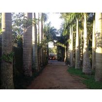 Palmeira Imperial Real Triangular Rabo De Raposa E Outras
