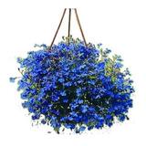 500 Sementes De Lobélia Azul P/ Mudas Flores Jardim E Vaso