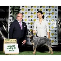 Fêmea Top Campea Filhote E Jovem Australian Cattle Dog