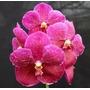 C Orquídea Vanda Thongchai X Dr. Anek Adulta
