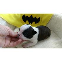 Boston Terrier Machinhos Reserva Disponível!