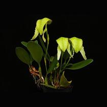 Muda De Orquídea Bulbophyllum, Cigarra Verde, Flor Exótica