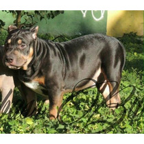 Filhotes American Bully.