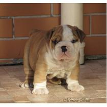 Bulldog Ingles Macho, Lindo Filhotes Excelente Padrao