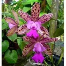Orquidea Cattleya Guttata Especie, Cortes De Planta Adulta