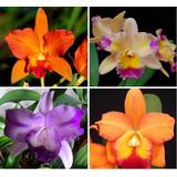 Pacote 10 Orquídeas Teresinha Com 5 Brindes