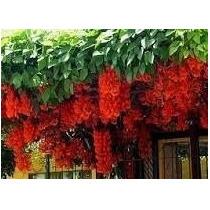 5 Sementes De Trepadeira Jade Vermelha