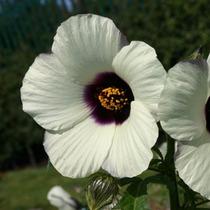 Hibiscus Kenaf Mix - Sementes Flor Hibisco Para Mudas
