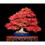 10 Sementes Acer Palmatum Vermelho Árvore + Frete Grátis
