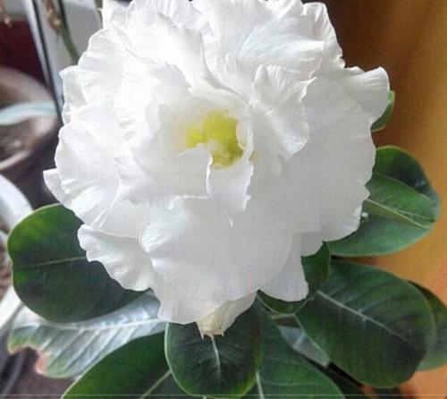 10sementes De Rosa Do Deserto Branca Flor 4 Camada.