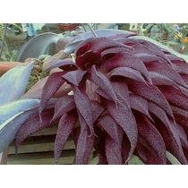 C Orquídea Bulbophyllum Fletcherianum 8 Centímetros