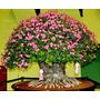 5 Sementes De Rosa Do Deserto(adenium Obesum)mix De Cores