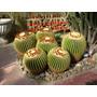 20 Sementes Cactos Bola Cactus Barril + Frete Gratis