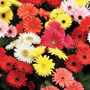 Gerbera Importada Sortida Sementes Flor P/ Mudas