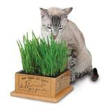 1000 Sementes De Grama-dos-gatos Erva Dos Gatos # Original