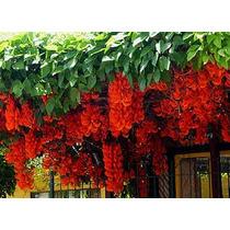 20 Sementes De Jade Vermelha Últimas Unidades