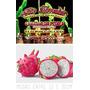 4 Mudas De Pitaya/fruto Do Dragão (polpa Branca/pele Rosa)