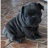 Filhote Bulldog Francês  Blue Solido