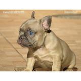 Bulldog Frances Mini Macho Fulvo Filhote Bem Pequeno Top