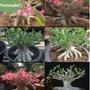 6 Adenium Arabica-6 Tipos Identificadas-bonsai